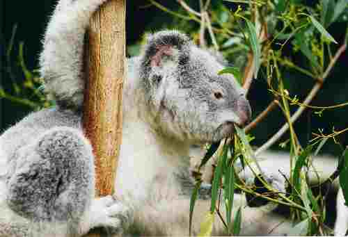 800px_koala_ag1.jpg - 10.94 kb
